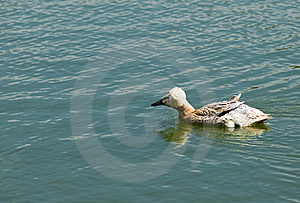 Crested Duck (Lophonetta Specularioides) Stock Photo - Image: 19901260