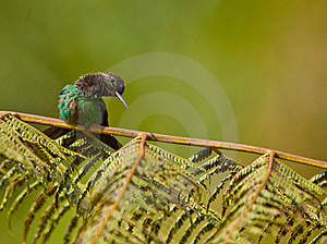 A Curious Violet-fronted Brilliant Hummingbird Stock Images - Image: 19904614