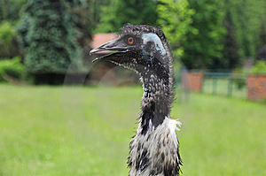 Emu Ostrich, Portrait Royalty Free Stock Image - Image: 19904896