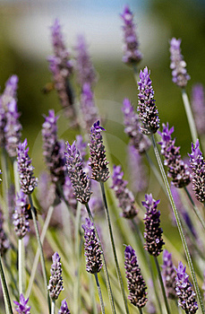Lavender Stock Images - Image: 19912214
