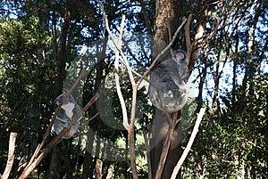 Koala Bear. Royalty Free Stock Photography - Image: 19913857