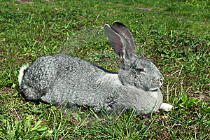 Big Mammal Rabbit Stock Photography - Image: 19916372