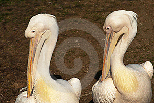 Two Pelicans Stock Photo - Image: 19917480