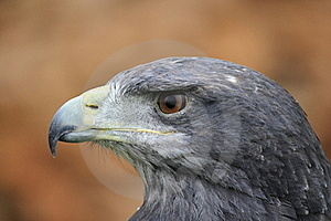 Grey Eagle Stock Images - Image: 19917784