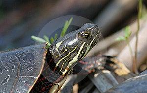Turtle Portrait Royalty Free Stock Image - Image: 19917786