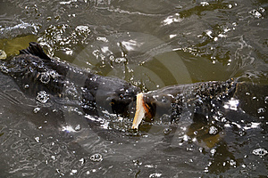 Hungry Carps Fighting Over Bread Stock Image - Image: 19920031