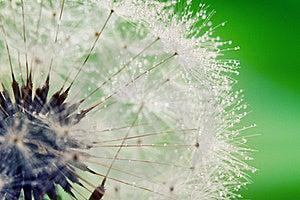 Close-up Of Wet Dandelion Stock Images - Image: 19921414