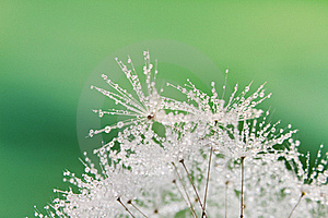 Close-up Of Wet Dandelion Stock Image - Image: 19921891