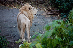 White Lion Stock Photography - Image: 19922252