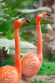 Flamingo Royalty Free Stock Photography - Image: 19922367