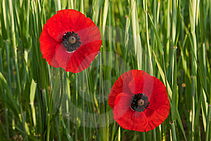 Two Poppies Stock Photography - Image: 19922592