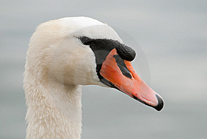 Mute Swan Stock Photo - Image: 19923410