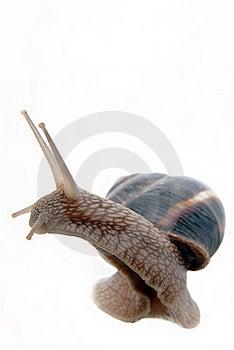 Garden Snail Royalty Free Stock Photo - Image: 19923915
