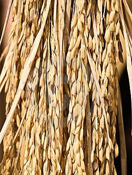 Ear Of Rice Stock Photos - Image: 19927613