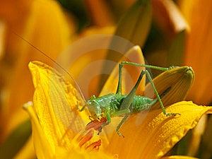 Green Grasshopper Stock Images - Image: 19932094