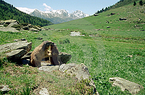 Marmots Kissing In French Alps Stock Photography - Image: 19950632