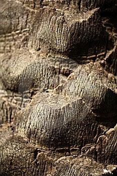 Date Tree Bark Royalty Free Stock Image - Image: 19956616