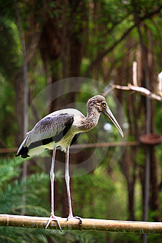 Painted Stork Royalty Free Stock Image - Image: 19956986