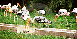Painted Storks Royalty Free Stock Images - Image: 19957019
