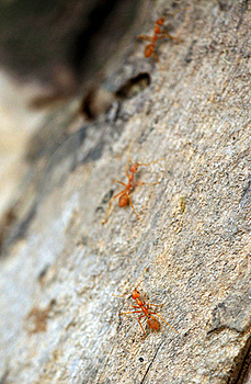Chasing Army Ants Stock Photography - Image: 19957212