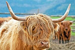 Highland Cattle Stock Photography - Image: 19957242