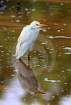 Egret With Reflection Royalty Free Stock Images - Image: 19957699