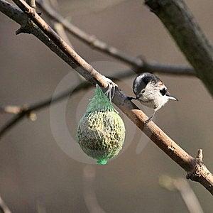 Aegithalos Caudatus - Long-tailed Tit Stock Photo - Image: 19957740