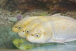 Golden Koi Stock Images - Image: 19957904