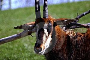 Sable Antelope Stock Photo - Image: 19962380