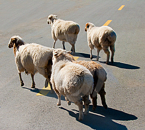Sheep Royalty Free Stock Photo - Image: 19962425
