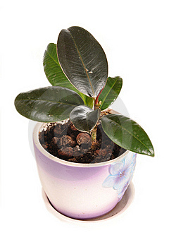 The Ficus Grows In A Pot Stock Photo - Image: 19963660