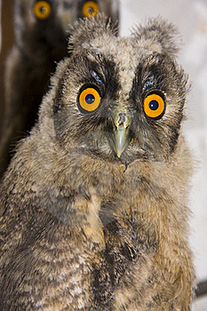 Young Long-eared Owl (Asio Otus) Royalty Free Stock Images - Image: 19964029