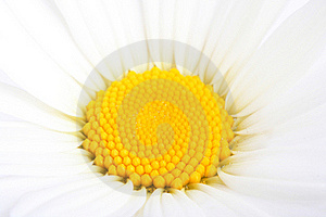 Part Of Camomile Flower. Macro, Closeup Royalty Free Stock Image - Image: 19965996