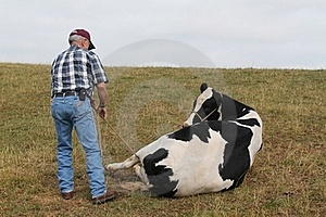 Large Animal Vet Roping The Cow Stock Photo - Image: 19968930
