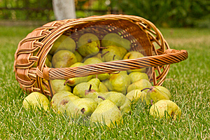 Pears In The Basket Stock Photos - Image: 19981343