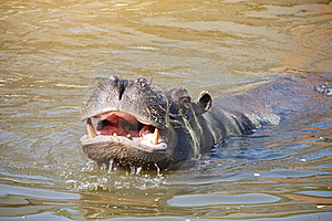 Hippo Stock Photo - Image: 19991270