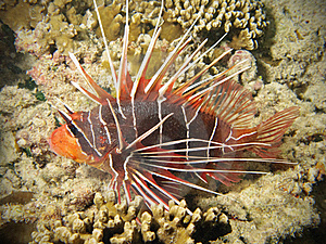 Red Lionfish On Coral Reef Royalty Free Stock Image - Image: 19991916