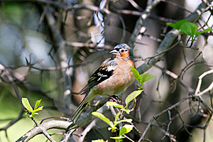 Chaffinch Male In Forest Stock Images - Image: 19994604