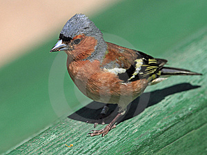Chaffinch Male Portrait Stock Photo - Image: 19994630