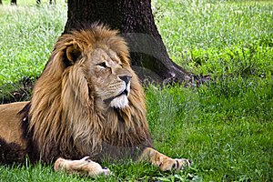 Lion Under Tree Royalty Free Stock Photography - Image: 19995777