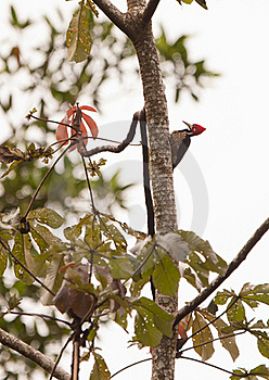 The Crimson-crested Woodpecker Royalty Free Stock Images - Image: 19996769