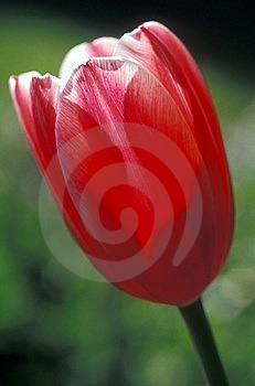 Red Tulip Royalty Free Stock Image - Image: 20006