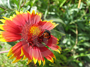 Bumblebee On Blanket Flower Royalty Free Stock Image - Image: 20306