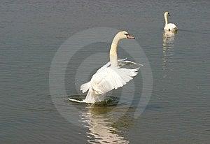 Swan Stock Photo - Image: 20640