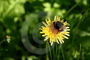 Bumble-bee On A Dandelion Royalty Free Stock Photo - Image: 20685