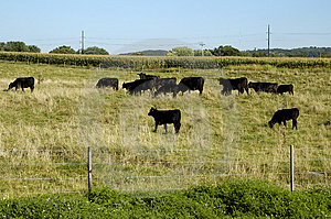 Cattle Stock Photography - Image: 20792