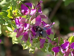 Black Bee Royalty Free Stock Image - Image: 21846