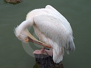 Pelican Grooming Free Stock Photo
