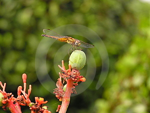 Dragonfly Stock Photography - Image: 23292