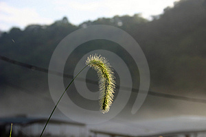 Early Am Seed Head Stock Photo